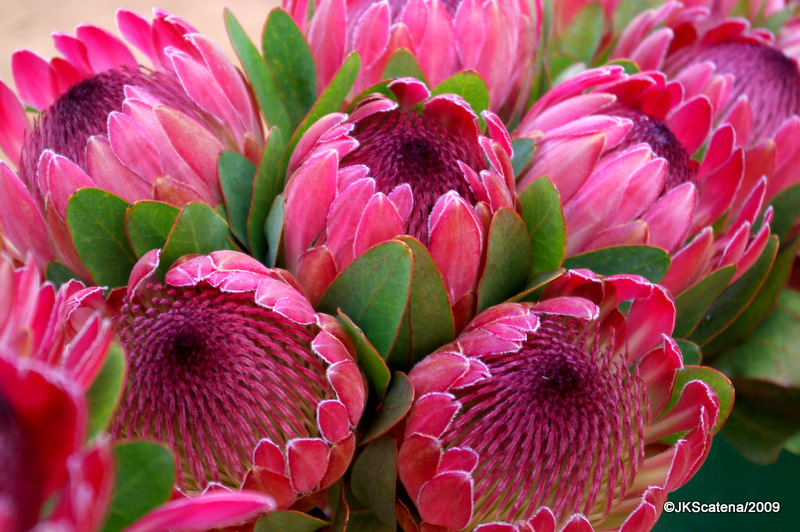 Фото цветов протея