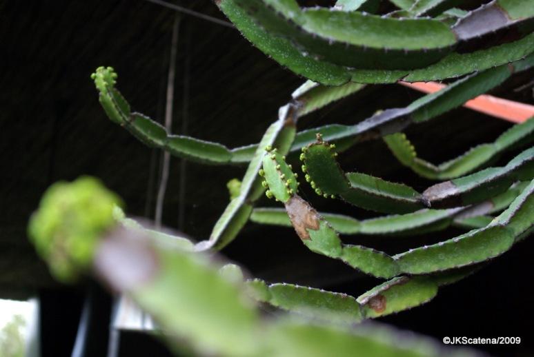 Cactus, Krueger Park