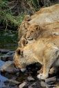 Lions, Krueger Park