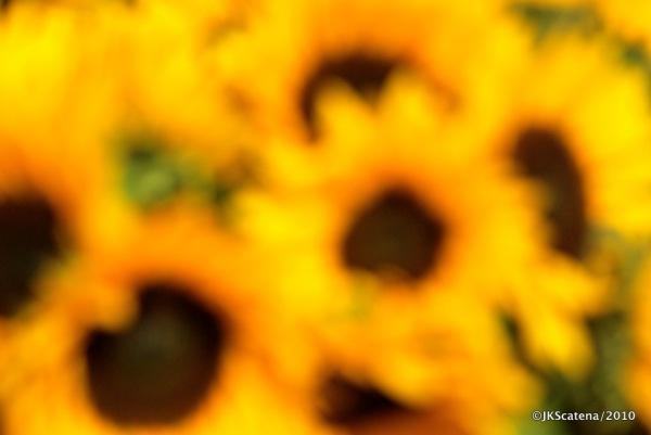 London: Columbia St. market, Sunflowers